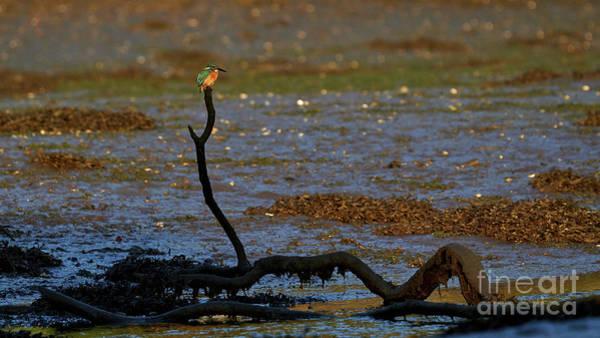 Photograph - Common Kingfisher Alcedo Atthis O Seixo by Pablo Avanzini