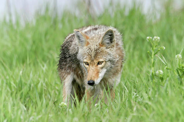 Photograph - Coyote by Ronnie and Frances Howard