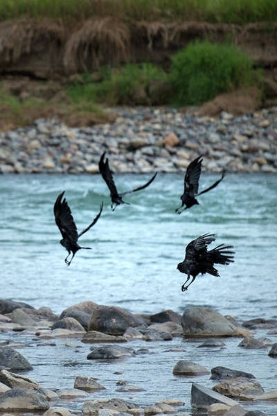 Photograph - 4 Crows At The River by Mary Lee Dereske