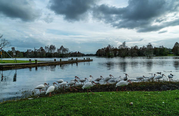 Wildlife Wall Art - Photograph - Ducks And Ibis by Ric Schafer