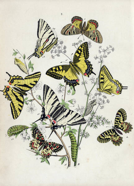 Wall Art - Painting - European Butterflies And Moths by William Forsell Kirby