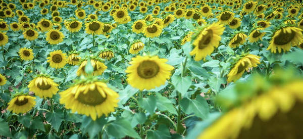 Photograph - Famland Filled With Sunflowers On Sunny Day by Alex Grichenko
