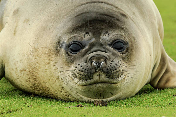Wall Art - Photograph - Female Elephant Seal, Mirounga Leonina by Adam Jones
