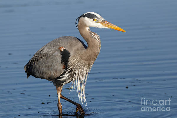 Photograph - Great Blue Heron by Sue Harper