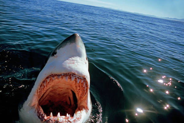 Photograph - Great White Shark by Jeff Rotman