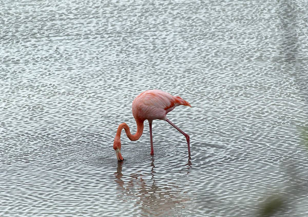 Wall Art - Photograph - Greater Flamingo by Michael Lustbader