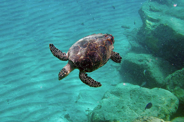 Wall Art - Photograph - Hawksbill Sea Turtle by Annette Kirchgessner