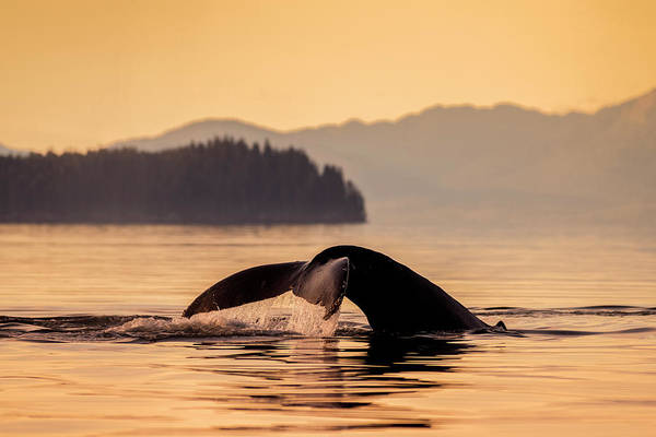 Wall Art - Photograph - Humpback Whale  Megaptera Novaeangliae by John Hyde