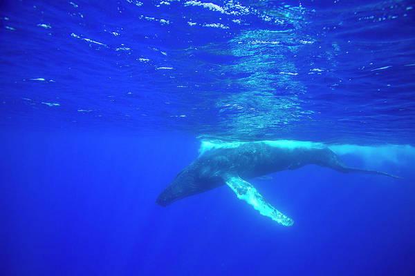 Wall Art - Photograph - Humpback Whales,near Lanai Island by Stuart Westmorland