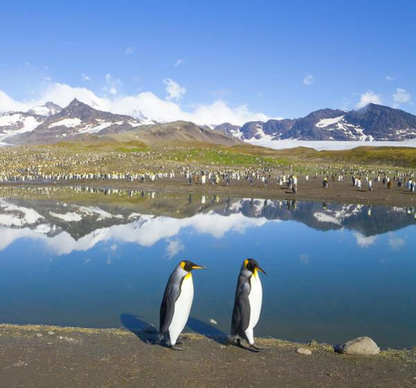 Wall Art - Photograph - King Penguins Aptenodytes Patagonicus by Eastcott Momatiuk