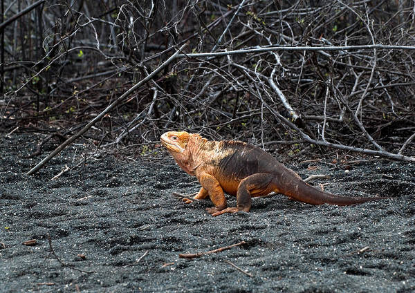 Wall Art - Photograph - Land Iguana by Michael Lustbader