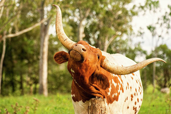 Photograph - Longhorn Bull In The Paddock by Rob D Imagery