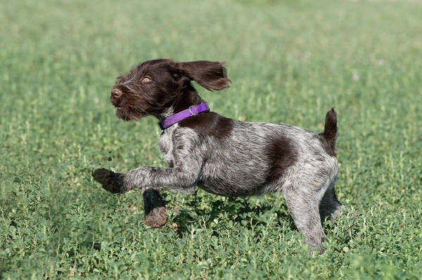 Wall Art - Photograph - Nine-week-old Drahthaar Puppy Running by William Mullins