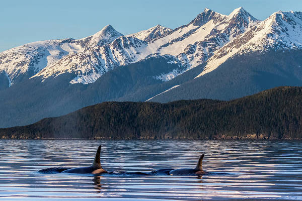 Wall Art - Photograph - Orcas  Orcinus Orca , Also Known by John Hyde