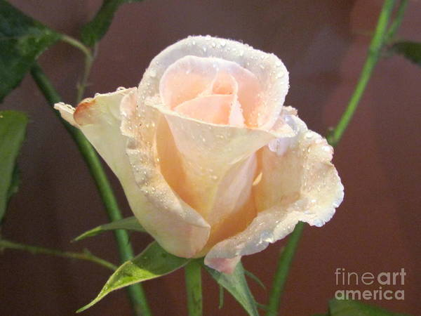Photograph - Pink Rose. by Joyce Woodhouse