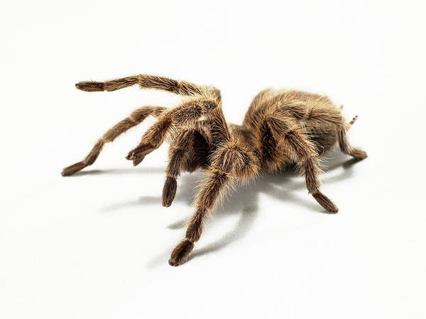 Hairy Photograph - Portrait Of A Hairy Tarantula In The by Michael Blann