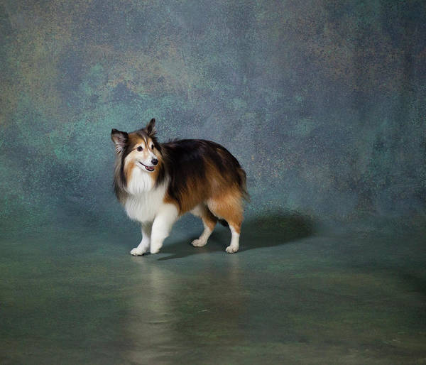 Wall Art - Photograph - Portrait Of A Shetland Sheepdog Dog by Panoramic Images