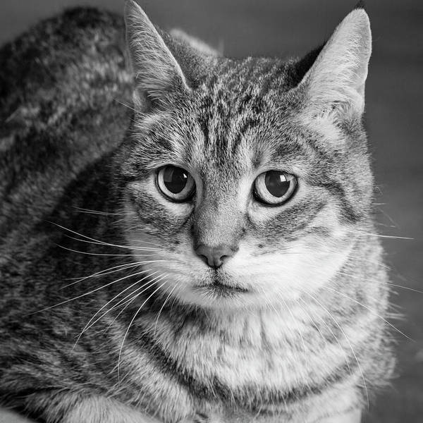 Wall Art - Photograph - Portrait Of A Tabby Cat by Panoramic Images