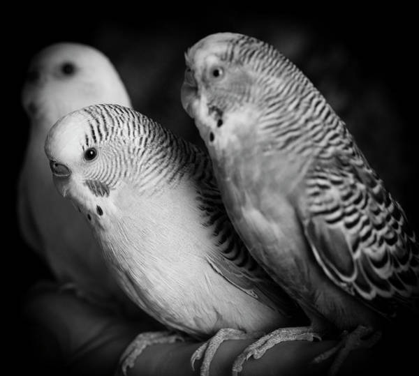 Wall Art - Photograph - Portrait Of Budgie Birds by Panoramic Images