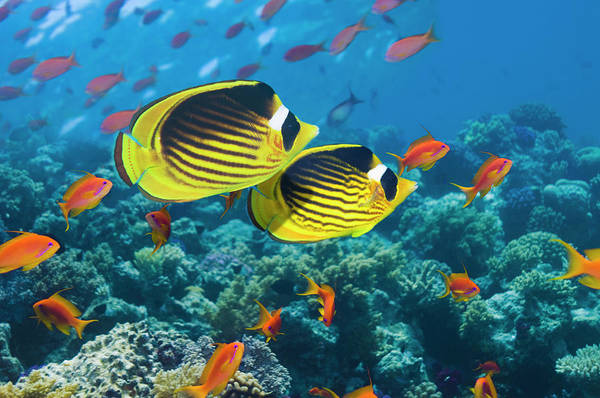 Raccoon Photograph - Red Sea Raccoon Butterflyfish by Georgette Douwma