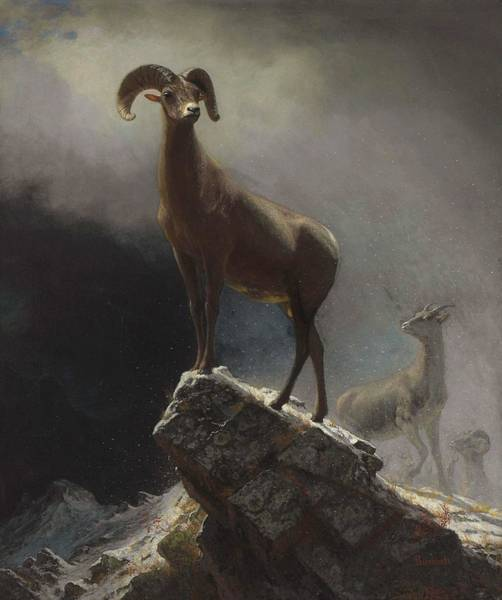 Painting - Rocky Mountain Sheep Or Big Horn, Ovis, Montana by Albert Bierstadt