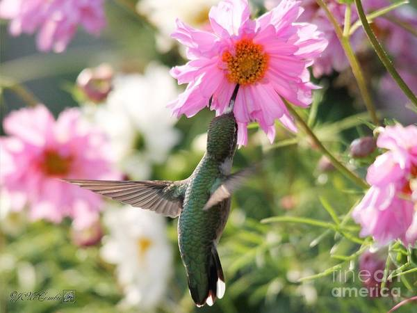 Wall Art - Photograph - Ruby-throated Hummingbird At Cosmos by J McCombie