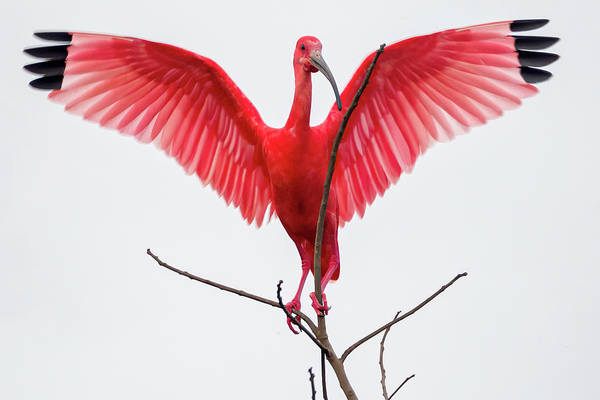 Photograph - Scarlet Ibis Hato Barley Tauramena Casanare Colombia by Adam Rainoff