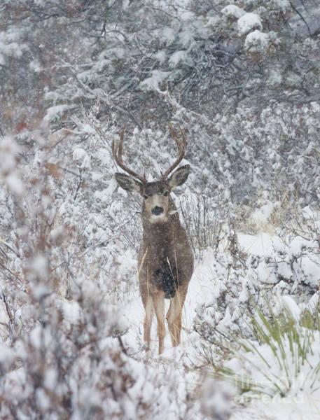 Photograph - Snowstorm Deer by Steve Krull
