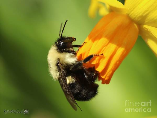 Wall Art - Photograph - Two-spotted Bumble Bee by J McCombie