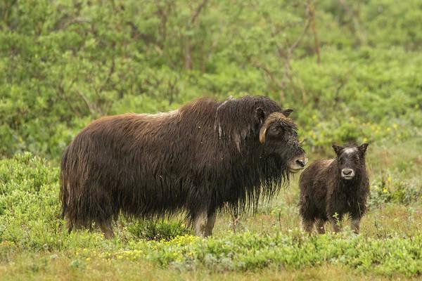 Cow And Calf Wall Art - Photograph - Usa, Alaska, Nome by Jaynes Gallery