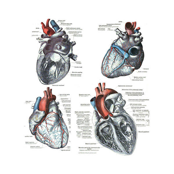 Photograph - 4 Views Of The Human Heart  by Steve Estvanik