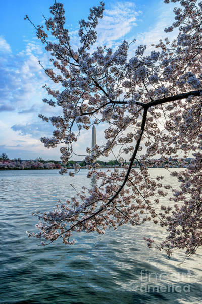 Wall Art - Photograph - Washington Monument Cherry Blossoms by Thomas R Fletcher