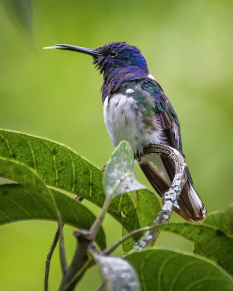 Photograph - White-necked Jacobin Entreaguas Ibague Tolima Colombia by Adam Rainoff