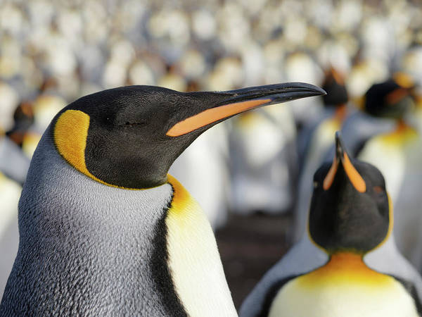 King Penguin On The Falkland Islands Art Print by Martin Zwick