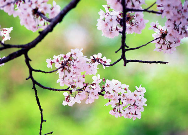 Wall Art - Photograph - Cherry Blossoms by Ooyoo