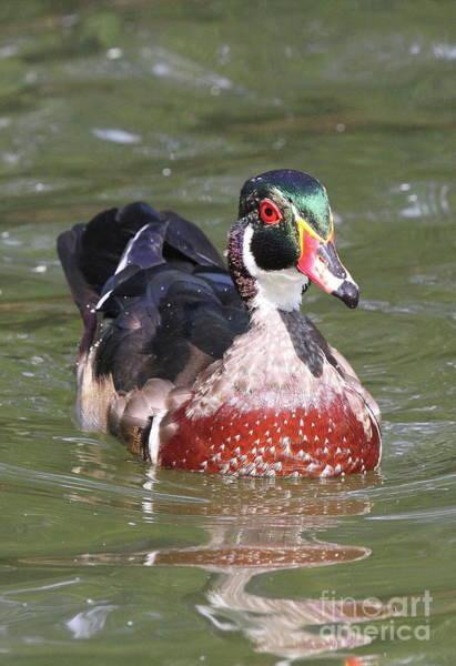 Photograph - Male Wood Duck by Ken Keener