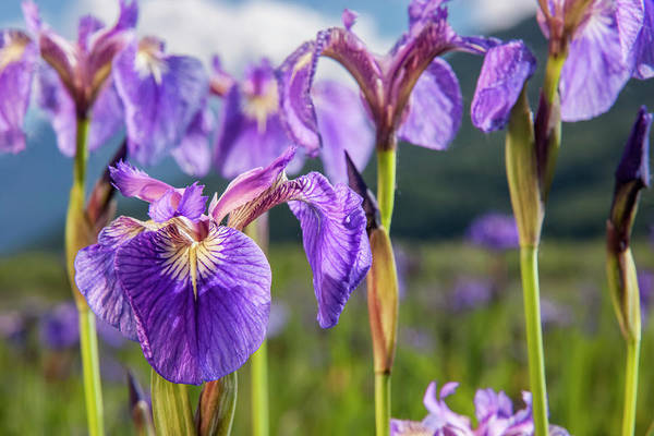 Wall Art - Photograph - A Perennial Iris And It S Deep Purple by Kevin G. Smith