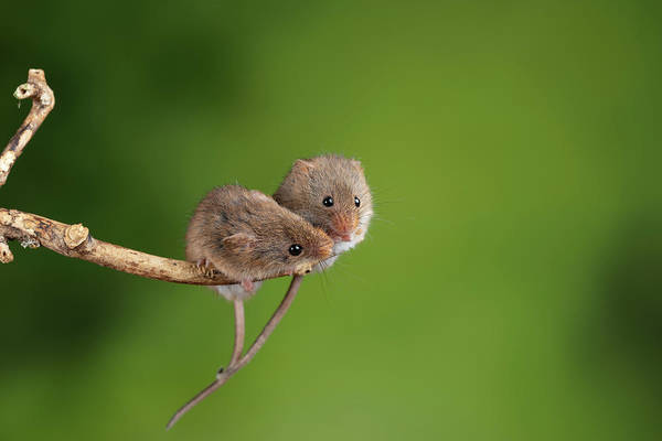 Wall Art - Photograph - Adorable And Cute Harvest Mice Micromys Minutus On Wooden Stick  by Matthew Gibson