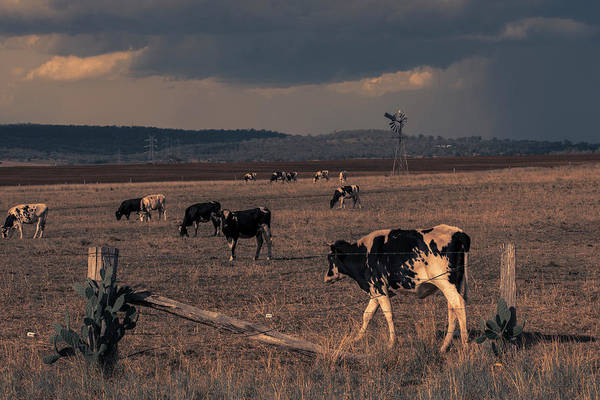 Photograph - Australian Cows by Rob D Imagery