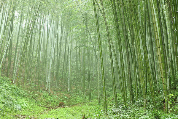 Wall Art - Photograph - Bamboo Grove by Bihaibo