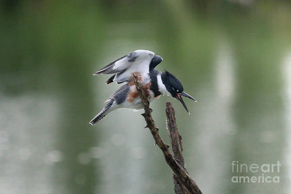 Wall Art - Photograph - Belted Kingfisher by Lori Tordsen