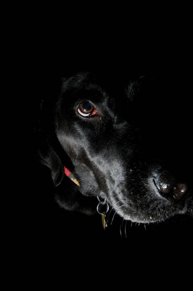 Wall Art - Photograph - Black Labrador Retriever by William Mullins