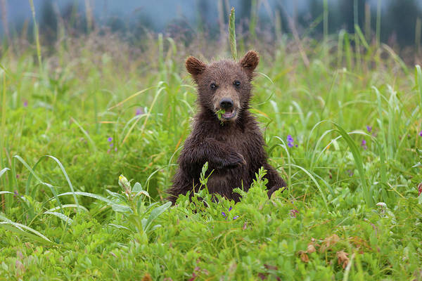 Photograph - Brown Bear Cub, Lake Clark National by Mint Images/ Art Wolfe