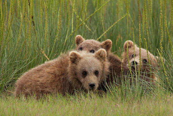 Photograph - Brown Bear Cubs, Lake Clark National by Mint Images/ Art Wolfe
