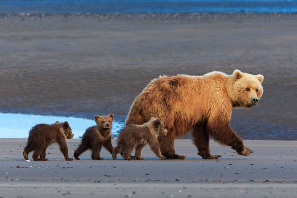 Born In The Usa Photograph - Brown Bear Sow And Cubs, Lake Clark by Mint Images/ Art Wolfe