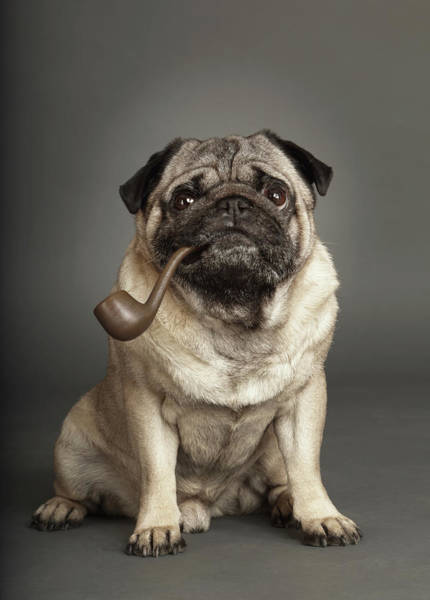 Pug Photograph - Dogs by Rainer Elstermann
