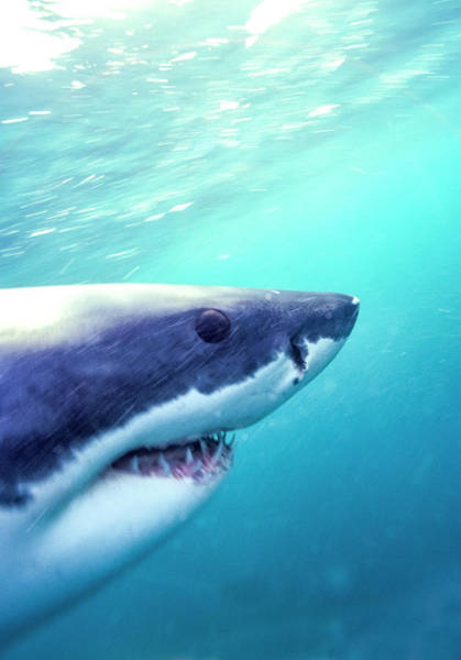 Wall Art - Photograph - Great White Shark, South Africa by Stuart Westmorland