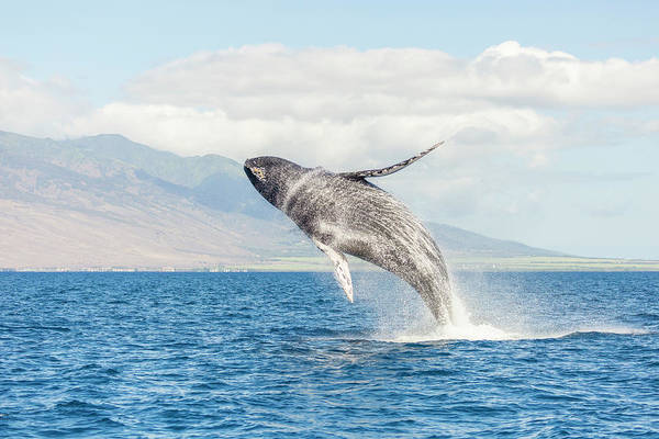 Wall Art - Photograph - Humpback Whale, Whale Watching by Stuart Westmorland