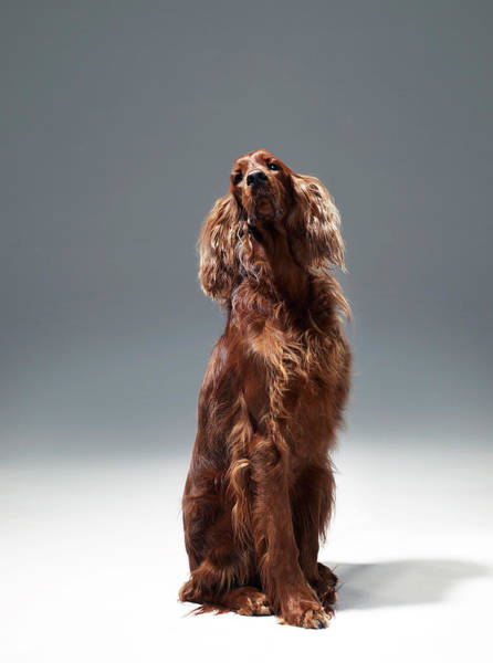 Setters Photograph - Irish Red Setter by Michael Blann