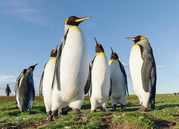 Islas Malvinas Wall Art - Photograph - King Penguin On The Falkland Islands by Martin Zwick